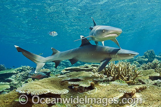 Whitetip Reef Sharks (Triaenodon obesus). Also known as Whitetip Shark and Blunthead Shark. Found in shallow waters of the Indo-Pacific, usually around coral reefs. Photo taken at Beqa Lagoon, Viti Levu, Fiji Islands. Photo - Michael Patrick O'Neill