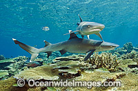 Whitetip Reef Sharks image