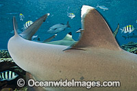 Whitetip Reef Shark fin Photo - Michael Patrick O'Neill