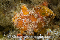 Ocellated Frogfish Photo - Michael Patrick O'Neill