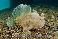 Striated Frogfish Antennarius striatus Photo - Michael Patrick O'Neill