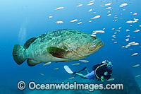 Atlantic Goliath Grouper and Scuba Diver Photo - MIchael Patrick O'Neill