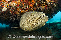 Atlantic Goliath Grouper under ledge Photo - MIchael Patrick O'Neill