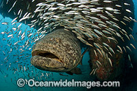 Atlantic Goliath Grouper with Minnows Photo - MIchael Patrick O'Neill