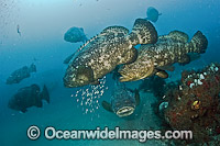 Goliath Grouper during spawning aggregation Photo - MIchael Patrick O'Neill