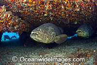 Atlantic Goliath Grouper resting under ledge Photo - MIchael Patrick O'Neill