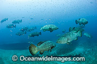 Goliath Grouper during spawning aggregation photo