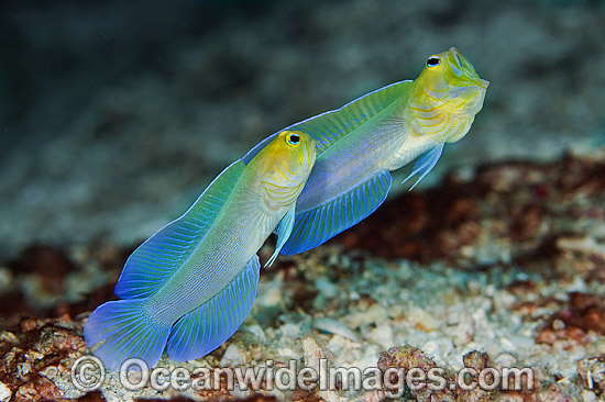 Yellowhead Jawfish (Opistognathus aurifrons), male courting a female. Also known as Yellowheaded Jawfish. Photo taken at Palm Beach, Florida, USA.