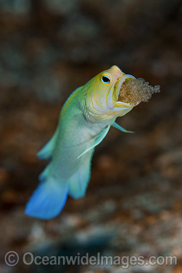 Yellowhead Jawfish (Opistognathus aurifrons), male brooding a clutch of eggs in its mouth. Also known as Yellowheaded Jawfish. Photo taken at Palm Beach, Florida, USA.