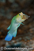 Yellowhead Jawfish brooding eggs in mouth Photo - MIchael Patrick O'Neill