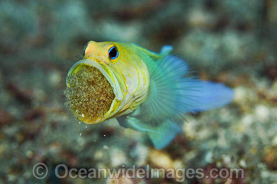 Yellowhead Jawfish brooding eggs in mouth photo