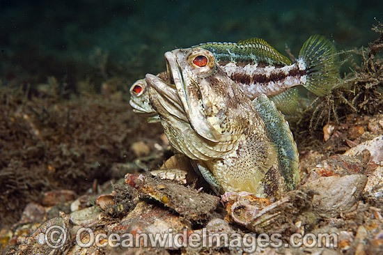 Banded Jawfish (Opistognathus macrognathus), male courting a female prior to mating. Photo taken at Lake Worth Lagoon, Palm Beach County, Florida, USA.