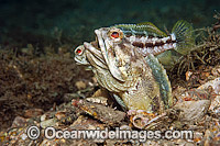 Jawfish male courting female Photo - MIchael Patrick O'Neill
