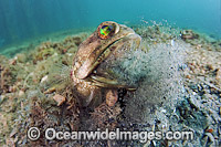 Jawfish male digging burrow Photo - MIchael Patrick O'Neill