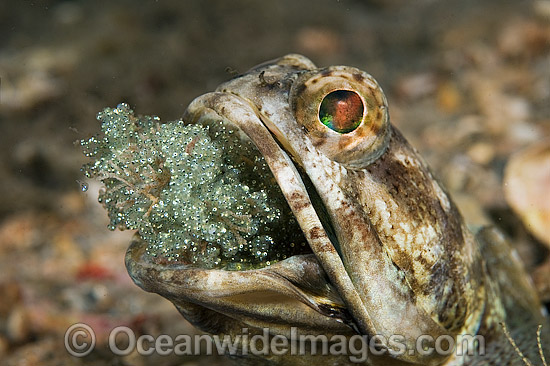 Banded Jawfish (Opistognathus macrognathus), male brooding a clutch of eggs in its mouth. Photo taken at Lake Worth Lagoon, Palm Beach County, Florida, USA.
