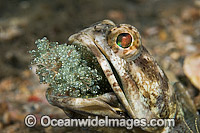 Jawfish male brooding eggs Photo - MIchael Patrick O'Neill