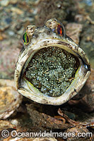 Jawfish brooding eggs in mouth Photo - MIchael Patrick O'Neill