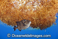 Gray Triggerfish under sargassum weed Photo - Michael Patrick O'Neill
