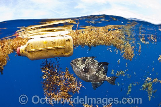Gray Triggerfish (Balistes capriscus). Below a patch of floating sargassum weed and garbage in the open ocean offshore Palm Beach County, Florida, USA. Photo - Michael Patrick O'Neill