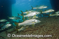 Common Snook Schooling photo