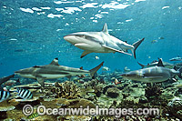 Gray Reef and Blacktip Sharks Photo - Michael Patrick O'Neill