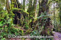 Antarctic Beech Trees Lamington National Park photo