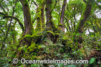 Antarctic Trees Lamington National Park photo