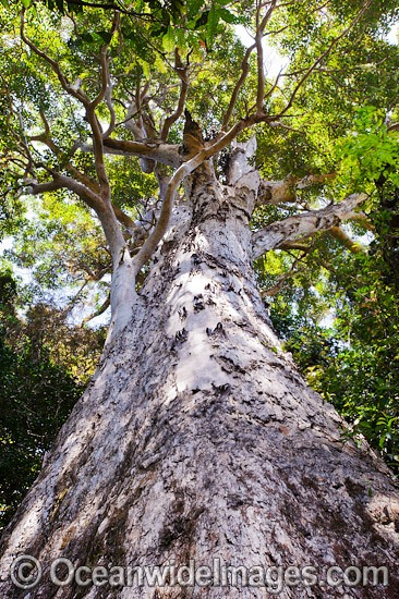 Huge 3 metre diameter rainforest tree in sub-tropical rainforest. Photo taken at Lamington World Heritage National Park, Queensland, Australia. Photo - Gary Bell