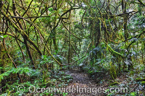 Entangled rainforest vines, hanging across the Border Track, situated in the Lamington World Heritage National Park, Queensland, Australia. Photo - Gary Bell