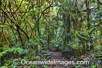 Rainforest vines Lamington National Park photo
