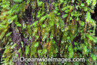 Water droplets on rainforest moss photo