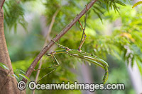 Goliath Stick Insect Eurycnema goliath Photo - Gary Bell