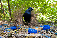 Satin Bowerbird male in bower image