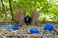 Satin Bowerbird male in bower Photo - Gary Bell