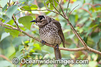 Regent Bowerbird female in tree Photo - Gary Bell
