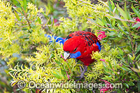 Crimson Rosella eating flowers Photo - Gary Bell