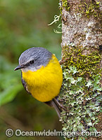 Eastern Yellow Robin image
