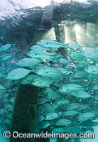Big-eye Trevally around jetty pylons
