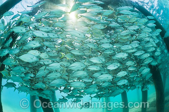 Big-eye Trevally (Caranx sexfasciatus) schooling around the pylons of a jetty. Also known as Horse-eye Jacks. Found throughout the Indo-Pacific. Photo taken at the Great Barrier Reef Queensland Australia.