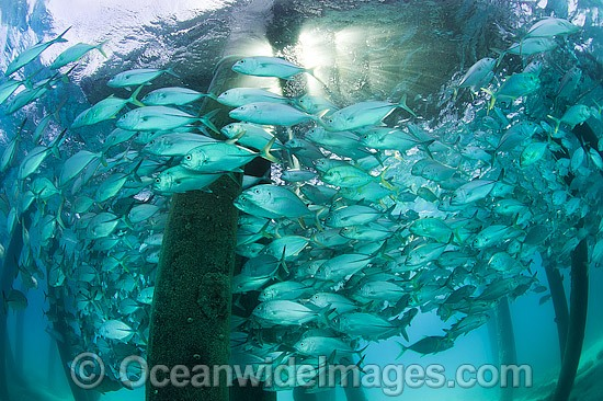 Big-eye Trevally (Caranx sexfasciatus) schooling around the pylons of a jetty. Also known as Horse-eye Jacks. Found throughout the Indo-Pacific. Photo taken at the Great Barrier Reef Queensland Australia. Photo - Gary Bell
