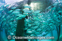 Big-eye Trevally under jetty photo
