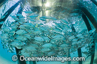 Trevally under jetty Heron Island photo