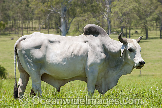 is a breed of Zebu Cat...