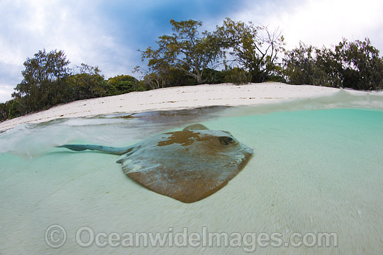 Cowtail Stingray (Pastinachus sephen), resting in the shallows close to shore. Also known as Fantail Ray, Feathertail Stingray, Banana-tail Ray. Found throughout the Indo-Pacific. Photo taken at Heron Island, Great Barrier Reef, Australia.
