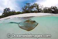 Cowtail Stingray resting in shallows photo