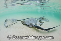 Cowtail Stingrays foraging in sand photo