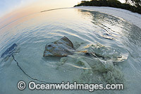 Cowtail Stingray and Brown Whipray photo