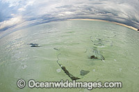 Cowtail Stingray with storm approaching photo