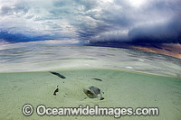 Cowtail Stingray with storm approaching