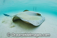 Swimmer and Cowtail Stingray